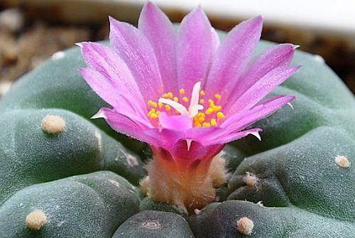 Lophophora fricii Peyote - San Pedro Cactus seeds