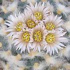 Lophophora koehresii peyotl, peyote graines
