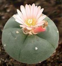 Lophophora williamsii Peyote - San Pedro Cactus seeds