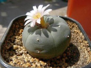 Lophophora williamsii Peyote - San Pedro Cactus seeds