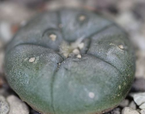 Lophophora williamsii El Tecolote Peyote - San Pedro Cactus seeds