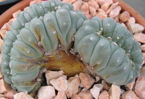 Lophophora williamsii cristata Cristate Peyote seeds