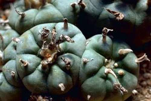 Lophophora williamsii v Bernalecho Peyote - San Pedro Cactus seeds
