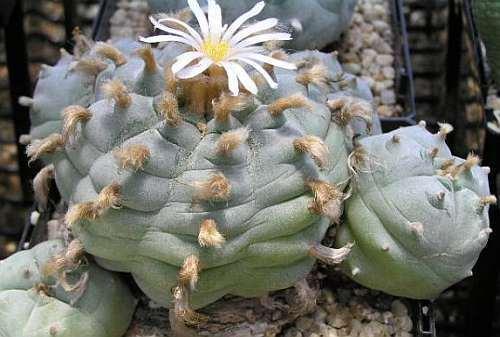 Lophophora williamsii v Cardona Peyote - San Pedro Cactus seeds