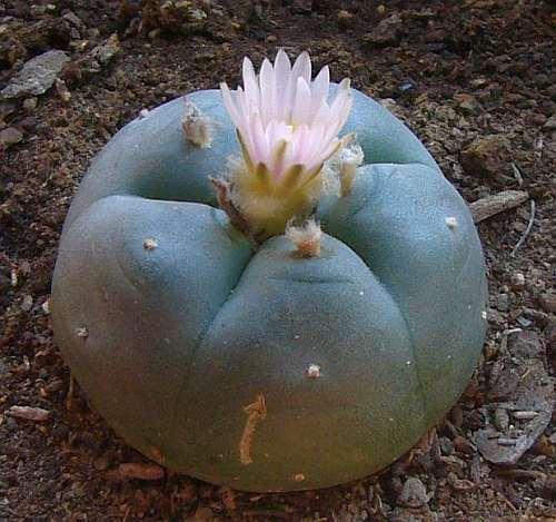 Lophophora williamsii v Las Coloradas Peyote - San Pedro Cactus seeds