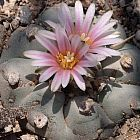 Lophophora williamsii v Los Tecolotes peyotl - cactus San Pedro?  graines