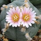 Lophophora williamsii v Mazapil  semillas