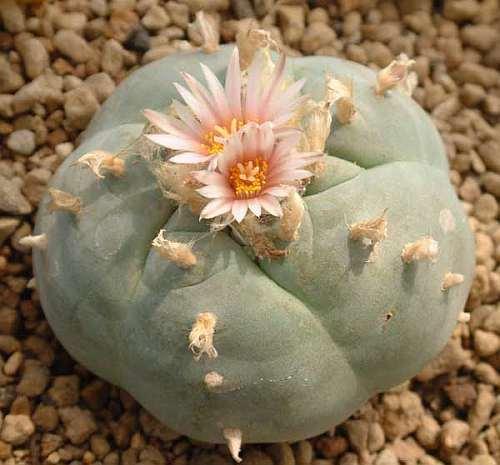 Lophophora williamsii v Ramos Arizpe Peyote - San Pedro Cactus seeds