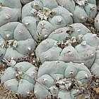 Lophophora williamsii v San Antonio