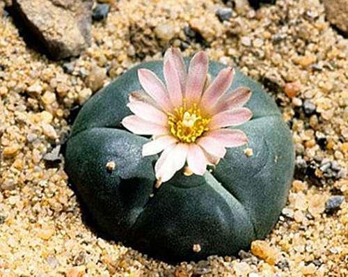 Lophophora williamsii v San Tiburcio Peyote - San Pedro Cactus seeds