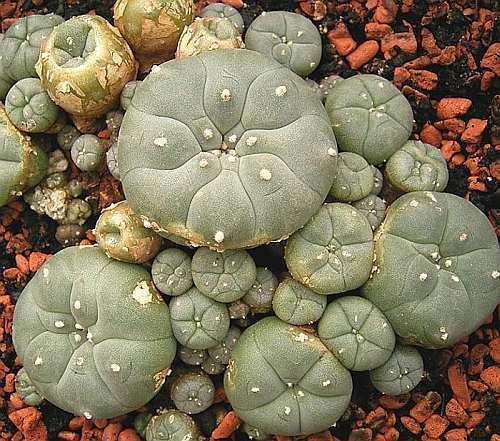 Lophophora williamsii v Villa Arista Peyote - San Pedro Cactus seeds