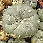 Lophophora williamsii v Villa Arista