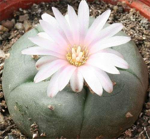 Lophophora williamsii v grandiflora Peyote - San Pedro Cactus seeds