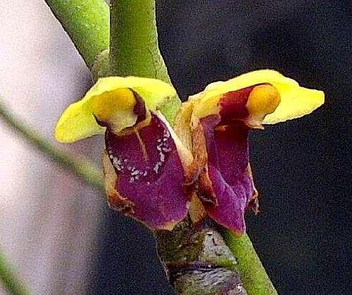 Luisia zollingeri syn: Luisia brachystachys - Luisia latilabris seeds