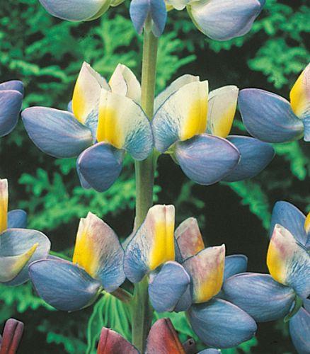 Lupinus Lupin Sunrise Lupin Sunrise seeds