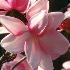 Magnolia campbellii Magnolia de Campbell semillas