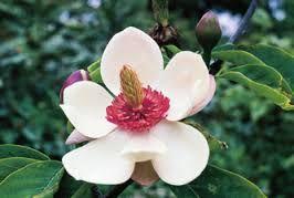 Magnolia cathcartii syn: Michelia cathcartii seeds