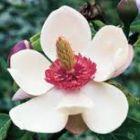 Magnolia cathcartii