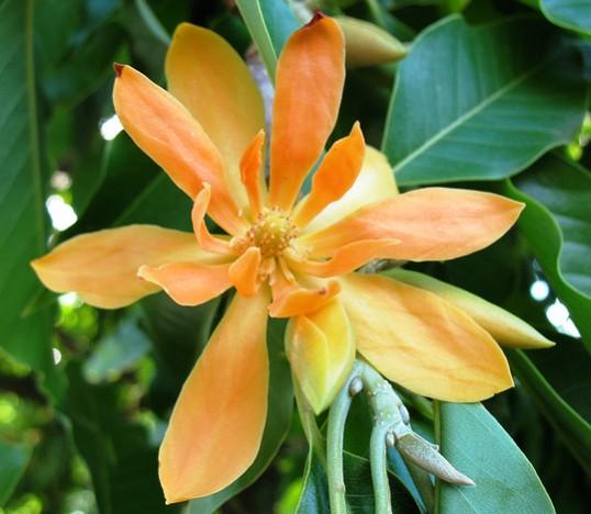 Magnolia champaca Champaca - champak - Joy Perfume Tree seeds