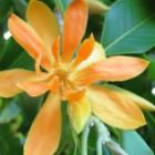Magnolia champaca  semillas