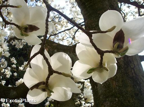 Magnolia grandiflora southern Magnolia seeds