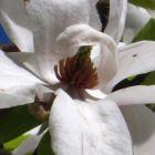 Magnolia kobus  semi