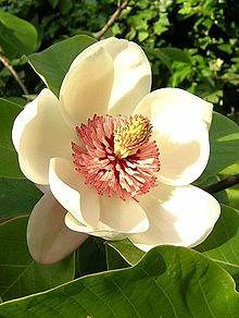 Magnolia pterocarpa Wild Magnolia seeds