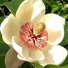 Magnolia pterocarpa  semillas