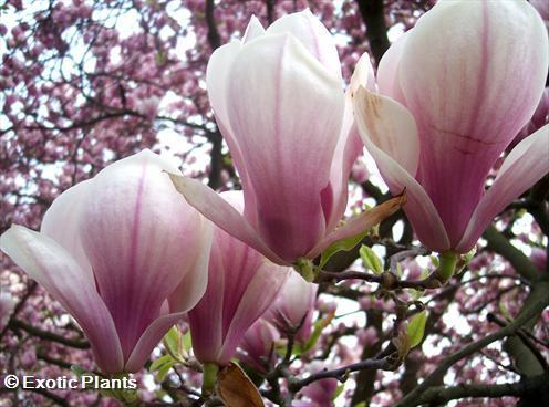 Magnolia soulangiana saucer Magnolia - tulip tree seeds