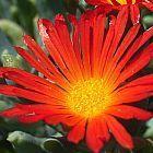 Malephora crocea var crocea planta suculenta semillas