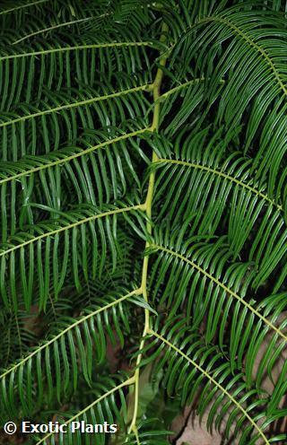Marattia fraxinea king fern seeds