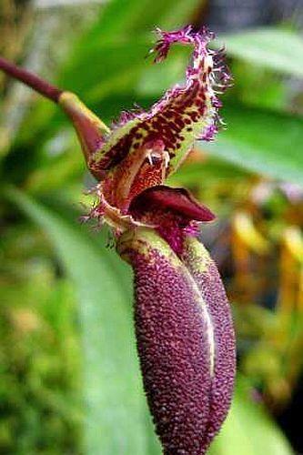 Mastigion putidum orchids seeds