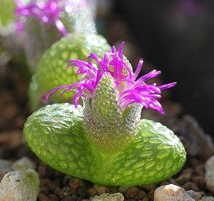 Maughaniella luckhoffii syn: Diplosoma luckhoffii seeds