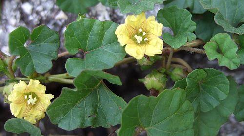 Merremia bipinnatipartita Merremia seeds