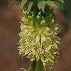 Merwilla plumbea sinonimo: Scilla natalensis semi