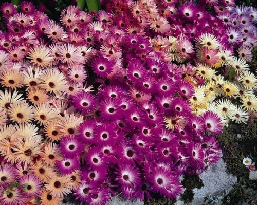 Mesembryanthemum Magic Carpet Livingstone Daisy seeds