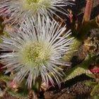 Mesembryanthemum guerichianum  semillas