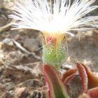 Mesembryanthemum parvipapillatum  semillas