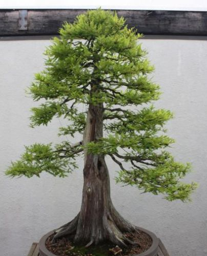 Metasequoia glyptostroboides Dawn Redwood - Bonsai seeds