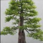 Metasequoia glyptostroboides Urweltmammutbaum - Bonsai Samen