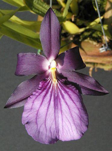 Miltonia spectabilis semi-alba orchids seeds