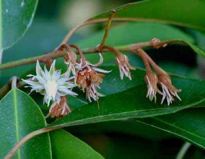 Mimusops elengi Kabiki - indian fruit tree seeds