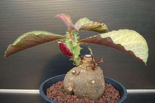 Monadenium magnificum caudiciform seeds