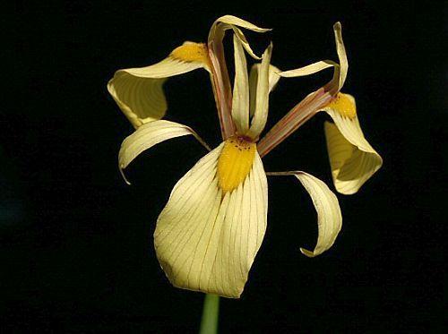 Moraea lurida Iridaceae seeds