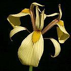 Moraea lurida Iridaceae semillas