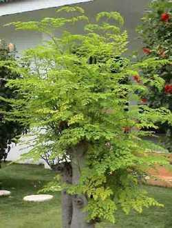 Moringa PKM1 horseradish tree seeds