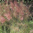Muhlenbergia capillaris Pink Muhly Grass