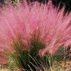 Muhlenbergia capillaris  semi