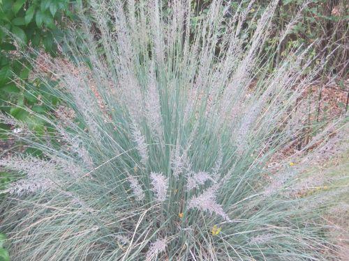Muhlenbergia lindheimeri Big Muhly - Lindheimers Muhly seeds