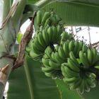 Musa acuminata Zwergbananenstaude Samen